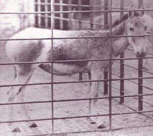 أخدر سوري، في حديقة حيوانات لندن، صوره Frederick York عام 1870م (1286هـ تقريبًا) ونَفَقَ الحمار الوحشي عام 1930م (1348هـ تقريبًا)، ويلحظ بيض حَقْوَيه.
