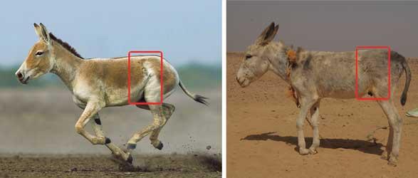 اليمين: حمار أهلي رمادي، مصدر الصورة: الباحث، اليسار: حمار وحش هندي Equus hemionus ssp. khur