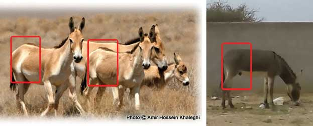 اليمين: حمار أهلي مستوحش رمادي أبيض البطن، مصدر الصورة: الباحث