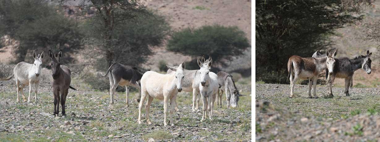 عانة حمر أهلية مستوحشة في بلدة محيرقة محافظة القويعية غرب الرياض 170كم